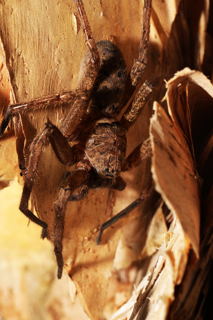Huntsman Spider in ambush position under Paperbark bark at
