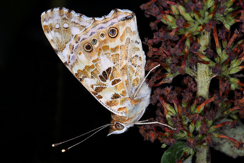 Vanessa the painted lady