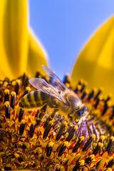 Nahaufnahme einer Honigbiene während sie Nektar auf einer Sonnenblume sammelt