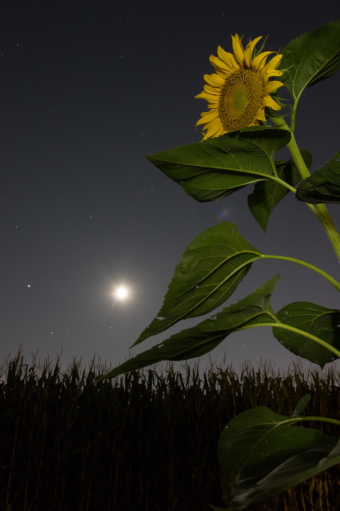 The Sunflower and the Jupiter-Moon Conjunction - Download