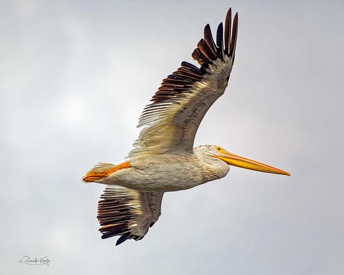 AZ6A7581_DxO_American White Pelican in Flight@0,33x_2