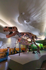 Image by NettyA (7272097@N08) and image name A T-Rex named Sue photo  about Inside the Field Museum of Natural History, Chicago. Here is information about this dinosaur: en.wikipedia.org/wiki/Sue_%28dinosaur%29