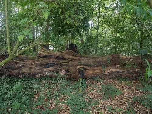 Beuk, omgevallen in 2004