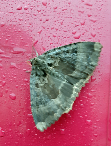Old Lady Moth (Mormo Maura)