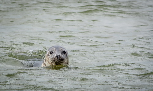 Seal near to Texel, Netherlands