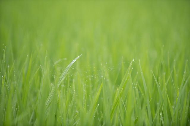 Photo:20190709 Yotsuya Terraced Rice Paddy 14 By BONGURI