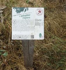 Le peuplier noir à Bellaing a plus de 100 ans. Ce peuplier noir une espèce rare a reçu  le label national