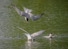 Terns Playing?