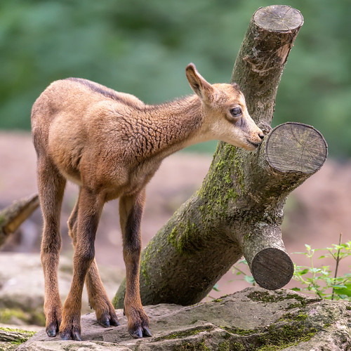 Curious young chamois...