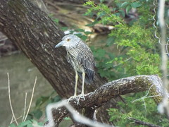 Yellow-Crowned Night Heron, August 9, 2019, Allen Station Park,Cottonwood Creek, Allen, Texas