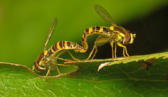 Mating hoverflies
