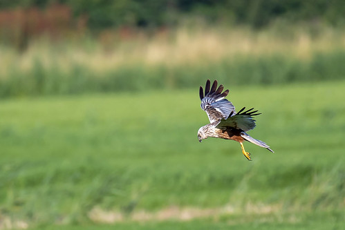 Bruine kiekendief-Western Marsh Harrier (Circus aeruginosus)