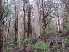 Karris and Casuarinas - Mt Hallowell Track, Denmark, Western Australia