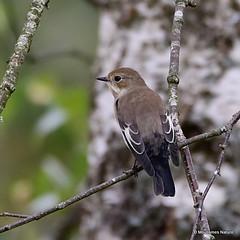 12 - Flycatchers > Eurasian Penduline Tit