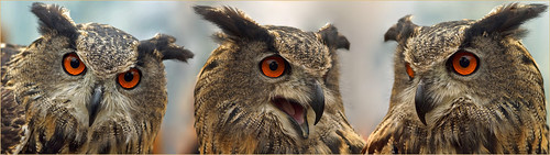 Triple Eurasian Eagle Owl