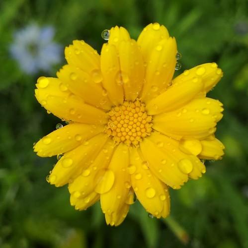Pot Marigold in the Rain