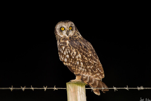 Coruja-do-nabal - short-eared owl (Asio flammeus)