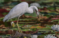 Image by NorthShoreTina (northshoretina) and image name Little Blue Heron with frog photo