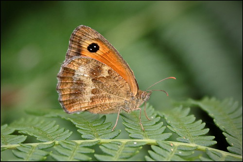 Borboleta Guarda-portões (Pyronia tithonus) - Gatekeeper / Hedge Brown Butterfly