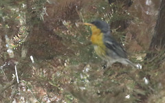 Tropical Parula (ID doc)