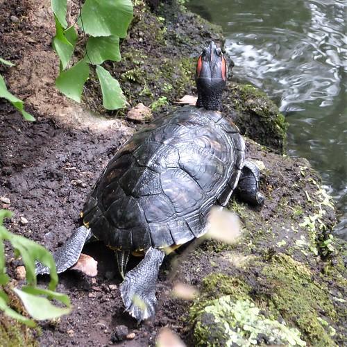 Chicago, Garfield Park Conservatory, Turtle