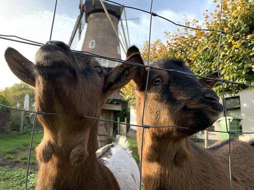 Twee geiten bij de molen