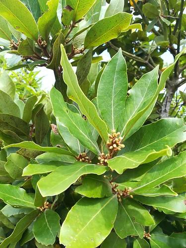 Pico (14) - Laurus azorica