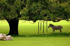 Zebra - Busch Gardens - Tampa, FL