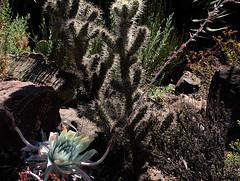 P20120812-0045—Cylindropuntia echinocarpa and Dudleya pulverulenta--RPBG—DxO