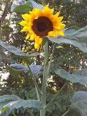Christine's Sunflower