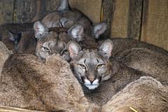 Puma family all together
