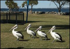 Four Pelicans in Pelican Park Clontarf-1=