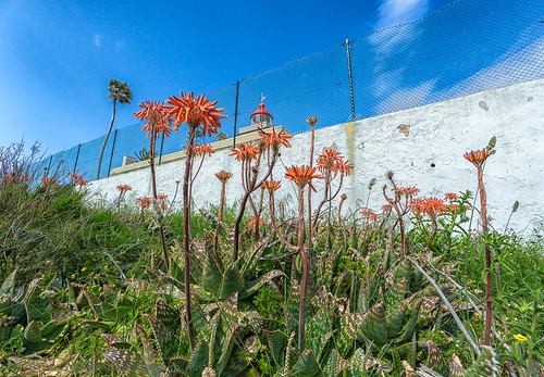 Aloes beside the Lighthouse