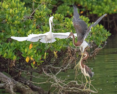 Snowy Egret Attacks a Pair of Juvenile Tricolor Herons