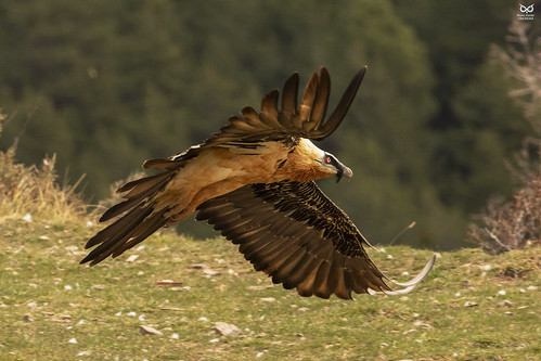 Quebra-ossos, Bearded vulture(Gypaetus barbatus)