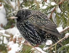 14 - Starlings > Buntings