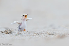 Image by NorthShoreTina (northshoretina) and image name That excitement you feel when dinner comes photo  about Baby Least Tern