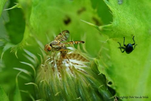 Gele klitboorvlieg   Terellia tussilaginis