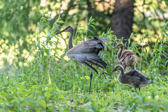 Family ~ Adopted Canada Gosling, Mom Sandhill Crane Stretching, and Brother Sandhill Crane Colt ~  Papa Sandhill Crane is always nearby, keeping his family safe ~ Branta canadensis and Antigone canadensis ~ Kensington Metropark, Michigan