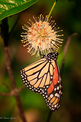 Monarch on Buttonbush