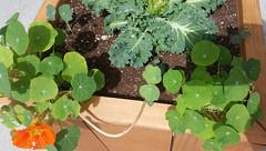 Nasturtium and flowering kale