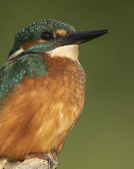 Image by peterspencer49 (35972709@N03) and image name Juvenile Kingfisher photo