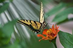 Spotllght on Swallowtail