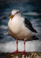 Morro Bay Sea Gull  No 2