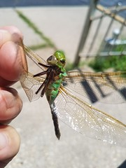 Common Green Darner (Anax junius) - 1
