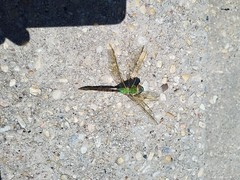 Common Green Darner (Anax junius) - 3