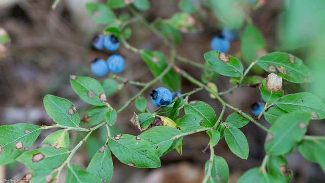 Wild blueberries along the path