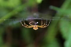 Aranha-de-prata (Argiope argentata)