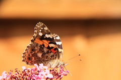Butterfly - Summer