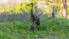 Family ~ Adopted Canada Gosling, Mama Sandhill Crane, and Papa Sandhill Crane keeping watch over his family ~ Branta canadensis and Antigone canadensis ~ Kensington Metropark, Michigan